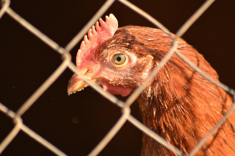 Курица. Ферма.