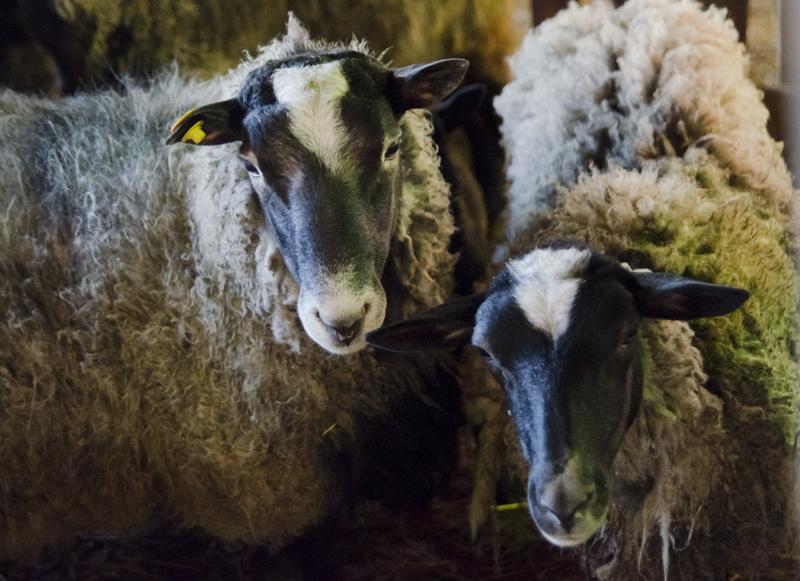 Овцы. Ферма.
